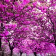 Cherry blossom trees garden - Stock Photo