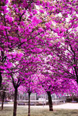 Cherry blossom trees garden — Stock Photo