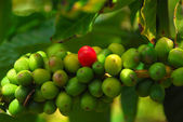 Kona Coffee Beans Ready To Ripen — Stock Photo