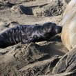 Female Elephant Seal nursing her pup — Stock Photo