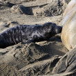 Stock Photo: Female Elephant Seal nursing her pup
