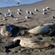 Stock Photo: Three Female Elephant Seals with their pups