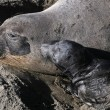 Stock Photo: Female Elephant Seal with her pup