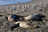 Three Female Elephant Seals with their pups — Stock Photo