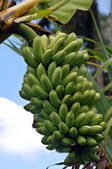 Tropical Bananas Grown On A Farm In Maui, Hawaii — Stock Photo