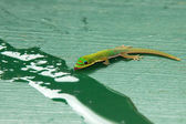 Tropical Island Gecko — Stock Photo