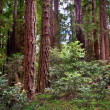 Henry Cowell Redwoods State Park — Stock Photo