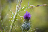 Purple Spear Thistle — Stock Photo