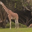 Giraffe Family at the San Francisco Zoo — Stock Photo
