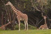 Giraffe Family at the San Francisco Zoo — Stock Photo