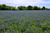 Field of Texas Bluebonnets — Stock Photo