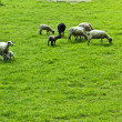 Sheeps on a field — Stock Photo