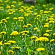 Field of dandelions - Foto Stock
