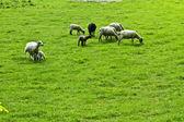 Ovelhas em um campo — Fotografia Stock