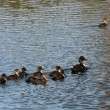 Duck family — Stockfoto