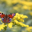 Butterfly — Stock Photo #24240871