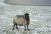 Koyunları alanında — Stok fotoğraf