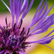 Cornflower — Stock Photo #39818789