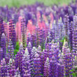 Lupinus Field — Stock Photo #39819023