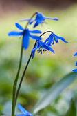 草の中の青い野生花 — ストック写真