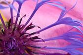 Cornflower — Stock Photo