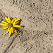 Foto Stock: Yellow flower on dried earth