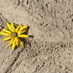 Yellow flower on dried earth — Foto de Stock