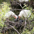 Ibis Bird Feeding Chick Ibis Bird Feeding Chick — Stock Photo