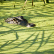 Stock Photo: Alligator Lurking in the Shadows Alligator Lurking in the Shadows