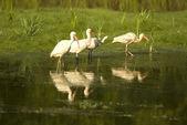 Ibis vogels permanent in een vijver ibis vogels permanent in een vijver — Stockfoto