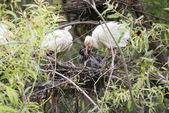 Ibis Bird Feeding Baby Chicks Ibis Bird Feeding Baby Chicks — Stock Photo