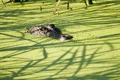 Alligator Lurking in the Shadows Alligator Lurking in the Shadows — Stock Photo
