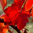 Vines in autumn — Stock Photo