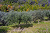 Olives on the tree — Stock Photo