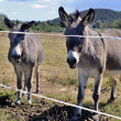 Donkeys in pre - Stock Photo
