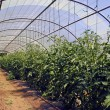 Stock Photo: Culture vegetable in greenhouse