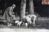 Old postcard, Perigord truffles search — Stock Photo