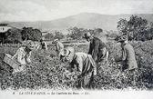 Carte postale ancienne, la côte d'azur, cueillette de roses — Photo