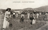 Old postcard of Riviera, picking tuberous — ストック写真
