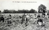 Old postcard In Sologne, harvesting potatoes — Stock Photo