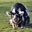 Stock Photo: Pig in barnyard