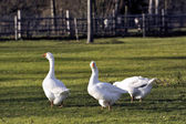 Geese in the barnyard — Stock Photo
