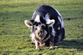 Pig in the barnyard — Stock Photo
