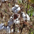 Stock Photo: Cotton flowers