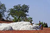 The cotton harvest — Stock Photo