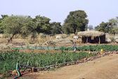 Market garden crops in Burkina Faso — Stock Photo
