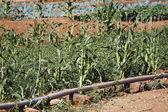 Market garden crops in Burkina Faso — Stock Photo