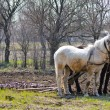 Two horses and plow in spring countryside garden - Stock Photo