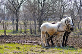 Two horses and plow in spring countryside garden — Stock Photo