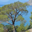 Rare pine tree in Crimea on rock by Black sea — Stock Photo